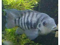 Convict cichlid male large