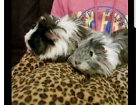 Two female guinea pigs with cage