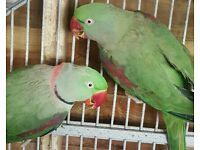 Alexandrine parrot pair