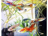 Amazing Tropical fish Guppy,NeonTetra,Pleco,Platy, Shrimp*HomeDelivery*