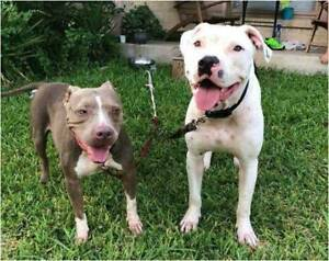 ADOPTABLE AMERICAN BULLDOGGE OR CO ALL PROCEDURES COMPLETE CARES