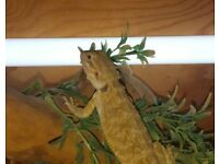 Grade A* Baby Bearded Dragons