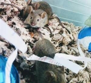 "Young Male Small & Furry - Mouse: ""Fig"""