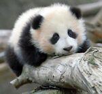 Homeless Panda