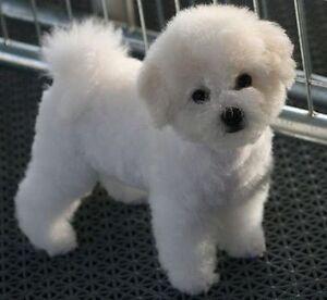 Bichon Frise or Bichon Maltese mix puppy