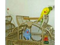 🎉🐦RINGNECK Talking Parrots Young Healthy CAGE DELIVERY 🚚
