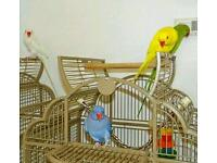 INDIAN RINGNECK talking parrots young healthy cage CAN deliver price from £60