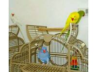 RINGNECK talking parrots young healthy cage CAN deliver price from £60