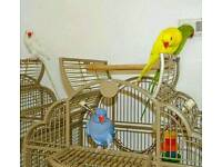 INDIAN RINGNECK talking parrots cage CAN deliver from £60