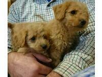 Absolutely adorable 3/4 Apricot Mini poodle puppies