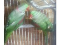 Alexandrine parrots pair with cage