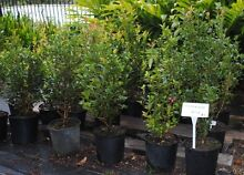 Liilly Pillys-Hinterland Gold and various other plants Cooran Noosa Area Preview