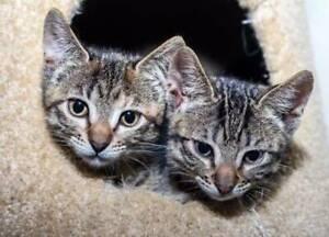 Affectionate kitten sisters - vet work included