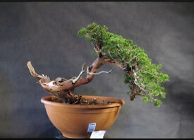 Yamadori Sabina Junipers Available now for styling