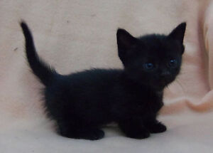 BEAUTIFUL BLACK PANTHER BENGAL KITTEN $100.00
