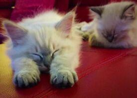 Gorgeous Ragdoll kitten -1 remaining!
