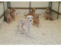 Lurcher puppies, 7 dogs, bedlington/whippet/greyhound/collie/deerhound breed type