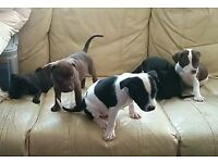 Tall staffie puppies