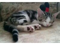 Cute white x bengal kitten