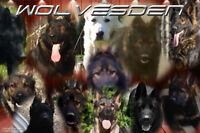 Elite Old World DDR & Czech German Shepherd Pups
