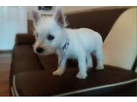 West highland terrier puppy white 3 months old for sale £395