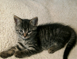 Baby kitten, male, mix