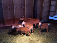 SOLD!! Hair Ewe and 4 Ram Lambs for Sale