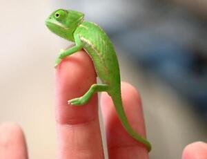 Baby Veiled Chameleon $80 this week only