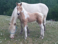 Two Registered APHA Filies-Color Me Smart & Zippo Pine Bar