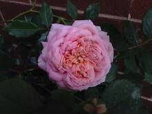 Roses for sale Drummoyne Canada Bay Area Preview
