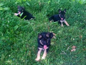 CKC registered German shepherd puppies