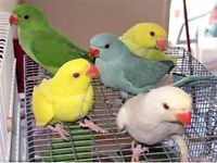 Beautiful Ringneck talking Parrots 12 weeks Only price From £130