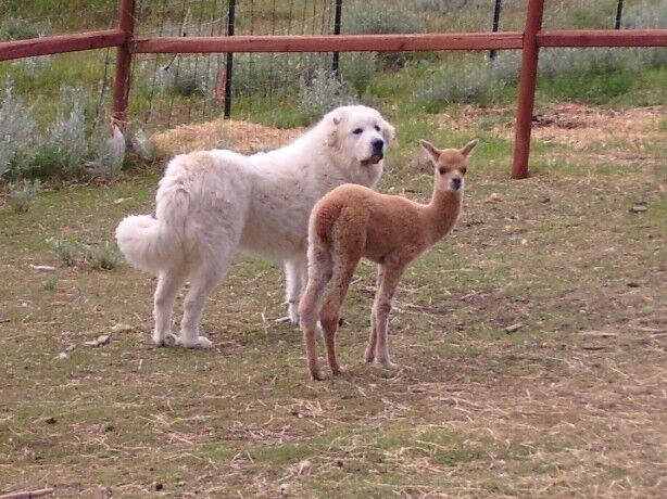 Big Horn Mountain Alpacas