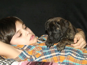Stunning ckc registered bullmastiff puppies