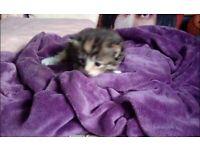 1 female tabby kitten for sale