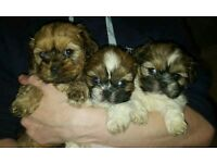 Shih Tzu pedigree puppies