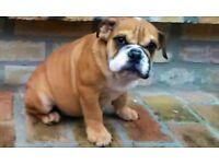 English bulldog male puppy,british bulldog