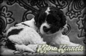 Portuguese Water Dog Puppies, CKC Registered