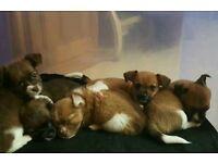 5 Jackahuahua puppies for sale