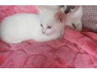 1 lovely white kitten with ginger tail