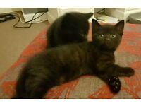 **Black Kittens ready 30th January** ONLY 2 GIRLS LEFT TO RESERVE