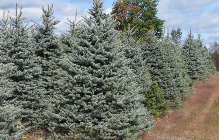 Whole sale Blue spruce Christmas trees available