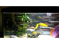 Group of 6 Yellow Lab Cichlids