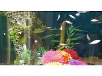 Guppies and sword tails for sale