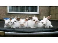 Adorable lionlop bunnies for sale.
