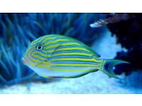 MARINE FISH / LOVELY CLOWN TANGS
