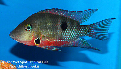 "(6) 1-1.5"" Firemouth Cichlid TR Thorichthys meeki Live Freshwater Tropical Fish"
