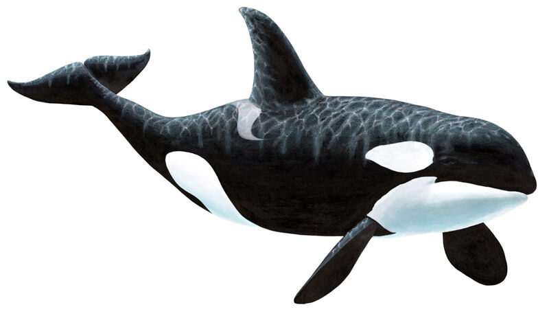 Orca Killer Whale Wall Stickers Decals Giant Wildlife Mural