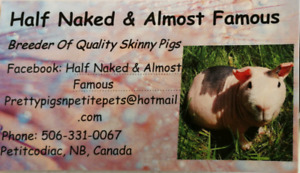 """""""Half Naked and Almost Famous"""" skinny pig babies available"""