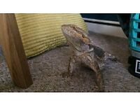 REDUCED A pair of Bearded Dragons will full 4ft set up